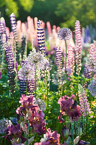 LUPINUS_POLYPHYLLUS_ALLIUM_AND_IRIS_IN_COTTAGE_GARDEN_