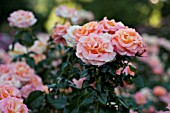 ROSA DAY BREAKER, FLORIBUNDA ROSE