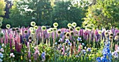 LUPINUS POLYPHYLLUS, ALLIUM AND IRIS IN COTTAGE GARDEN