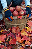 APPLES IN BUSHEL BASKET WITH FALLEN LEAVES OF MAPLE AND FOREST PANSY TREES