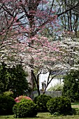 CORNUS FLORIDA AND CORNUS FLORIDA RUBRA, FLOWERING DOGWOOD, IN SPRING GARDEN