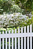 AZALEAS AND PICKET FENCE