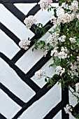 WHITE HYBRID MUSK ROSE AGAINST BLACK AND WHITE HALF TIMBERED WALL