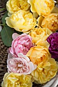 ROSA GRAHAM THOMAS, ROSA A SHROPSHIRE LAD AND ROSA MARY ROSE IN BASKET