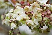 PRUNUS SERRULATA UKON, GREEN CHERRY TREE