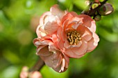 CHAENOMELES, FLOWERING QUINCE, JAPONICA
