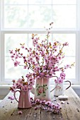 PRUNUS BLIREANA BLOSSOM IN PITCHERS ON WOODEN TABLE