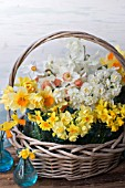 NARCISSUS ACCENT, THALIA, CHEERFULNESS, JETFIRE, TETE A TETE AND POETICUS IN BLUE JARS IN BASKET