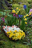 NARCISSUS FALCONET, TETE A TETE, ACCENT AND CHEERFULNESS IN TWIG BASKET IN WOODLAND GARDEN IN SPRING