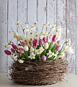 NARCISSUS POETICUS VAR. RECURVUS WITH TULIPA IN NEST BASKET