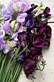 LATHYRUS ODORATUS WINTER SUNSHINE LAVENDER, WINTER SUNSHINE BLUE, DARK PASSION, WINDSOR