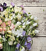 LATHYRUS ODORATUS DYNASTY, SPRING SUNSHINE PEACH, SPRING SUNSHINE CHAMPAGNE, JILLY, WHITE SUPREME, WINTER SUNSHINE BLUE, WINTER SUNSHINE LAVENDER, DARK PASSION AND WINDSOR