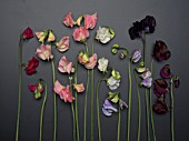LATHYRUS ODORATUS DYNASTY, SPRING SUNSHINE CHAMPAGNE, SPRING SUNSHINE PEACH, WHITE SUPREME, WINTER SUNSHINE LAVENDER, DARK PASSION AND WINDSOR SWEET PEAS ON PLAIN BACKGROUND