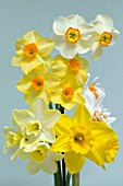 BOUQUET OF MIXED DAFFODIL CULTIVARS (NARCISSUS) INCLUDING DOUBLE DAFFODIL CHEERFULNESS, JONQUILLA SWEETNESS, SHORT CUP MERLIN AND TAZETTA FALCONET