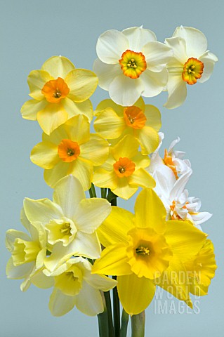 BOUQUET_OF_MIXED_DAFFODIL_CULTIVARS_NARCISSUS_INCLUDING_DOUBLE_DAFFODIL_CHEERFULNESS_JONQUILLA_SWEET