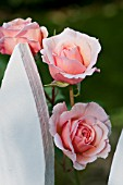 ROSA A SHROPSHIRE LAD, A DAVID AUSTIN ENGLISH ROSE