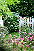 PRIVATE GARDEN GATE WITH POLYANTHA ROSE THE LOVELY FAIRY AND HYDRANGEA MACROPHYLLA