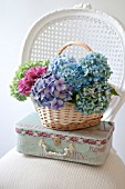 HYDRANGEA MACROPHYLLA NIKKO BLUE, GLOWING EMBERS AND ENDLESS SUMMER IN BASKET WITH DECORATIVE CASE ON WHITE CANE CHAIR.