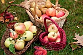 HAND PICKED MIXED ORGANIC APPLES IN BASKETS IN OCTOBER