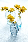 FORSYTHIA BRANCHES IN BLUE GLASS VASES