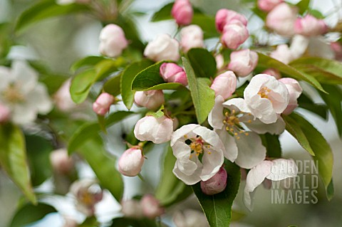 BLOSSOMS_OF_FLOWERING_CRABAPPLE_TREE_MALUS