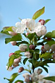 BLOSSOMS OF FLOWERING CRABAPPLE TREE (MALUS)