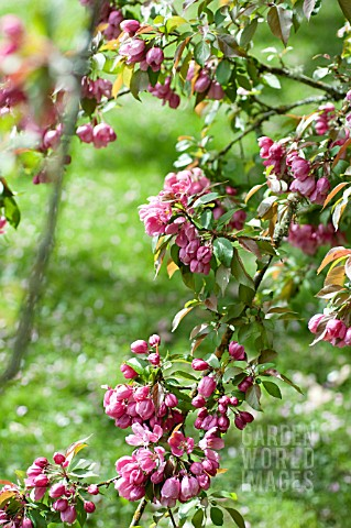 MALUS_MAKAMIK_FLOWERING_CRAB_APPLE_TREE