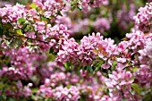 MALUS MAKAMIK, FLOWERING CRAB APPLE TREE