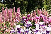 PINK AND PURPLE THEMED COTTAGE GARDEN WITH LUPINUS, IRIS, PEONIA AND COLUMBINE