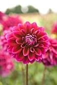 DAHLIA BOOGIE NIGHTS (FORMAL DECORATIVE)