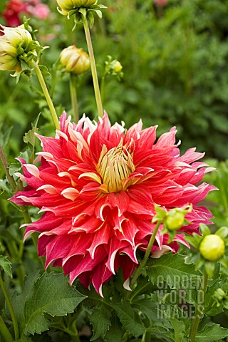 DAHLIA_NICK_SR_INFORMAL_DECORATIVE