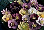 HELLEBORUS X HYBRIDUS, MIXED HYBRIDS FLOATING IN BOWL OF WATER