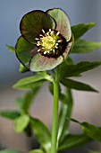 HELLEBORUS WINTER JEWELS ® JADE STAR,