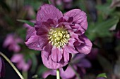 HELLEBORUS WINTER JEWELS® BERRY SWIRL