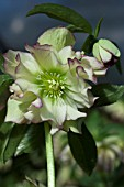 HELLEBORUS WINTER JEWELS® GOLDEN LOTUS