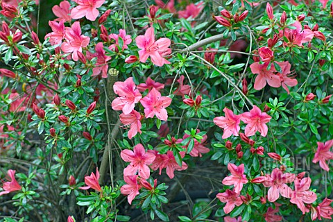 RHODODENDRON_SUMMER_SONG