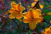 HEMEROCALLIS GOLDEN CHIMES CLOSE UP FLOWERS