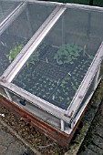 SEEDLINGS IN COLD FRAME WITH PROTECTIVE NETTING