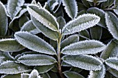 PRUNUS LAUROCERASUS MOUNT VERNON FOLIAGE WITH FROST