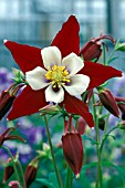 AQUILEGIA SWAN BURGUNDY AND WHITE,  PERENNIAL, RED, WHITE, SINGLE, FLOWER, CLOSE UP