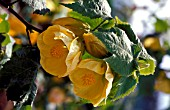 ABUTILON CANARY BIRD,  SHRUB, YELLOW, FLOWERS, CLOSE UP