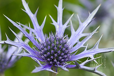 ERYNGIUM_BOURGATII__SEA_HOLLY