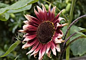 HELIANTHUS, HYBRID, RUBY ECLIPSE