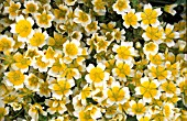 LIMNANTHES DOUGLASII,  POACHED EGG PLANT