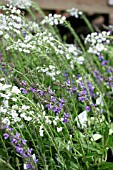 SALVIA RHAPSODY IN BLUE WITH VERONICA TISSINGTON WHITE