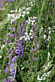VERONICA TISSINGTON WHITE WITH SALVIA RHAPSODY IN BLUE