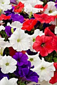 PETUNIA EASY WAVE THE FLAG MIX