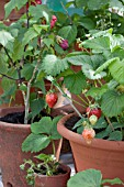 STRAWBERRIES IN TERRACOTTA CONTAINER