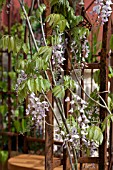 WISTERIA GROWING ON METAL FRAME