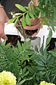 PLANTING TAGETES ERECTA,  REMOVING PLANTS FROM PACKAGING